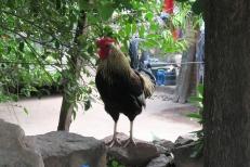 guard rooster El Fuerte