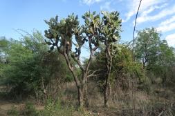 cactus tree El Fuerte