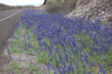 bluebonnets river road